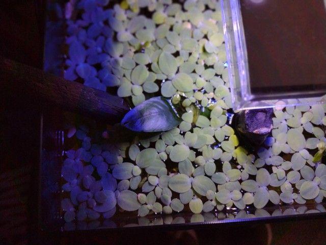 Plantas de superficie aquática - Foto 4