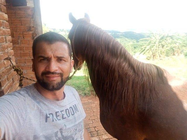 Vendo  égua mangalarga paulista égua de patrão!!! - Foto 2