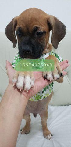 Boxer puro - FOTOS REAIS - Foto 3