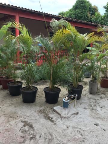 Palmeiras Areca Bambu - Foto 2