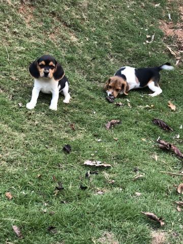 Beagle 13 polegada - Foto 3