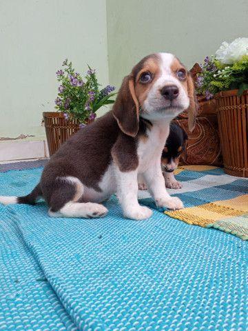 Labrador Beagle Dálmata Filhotes - Foto 3