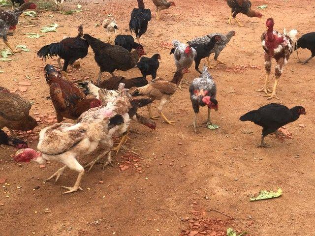 Galinhas e frangos  - Foto 2