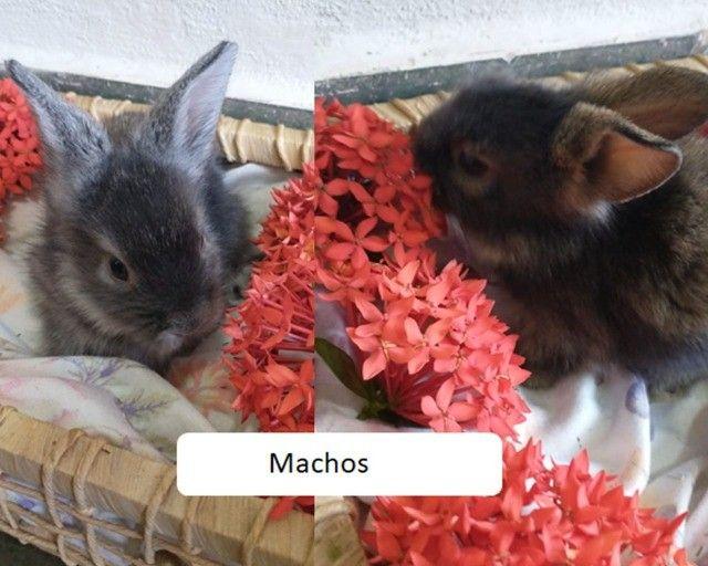 filhotes de mini coelho MiniLion - Foto 3