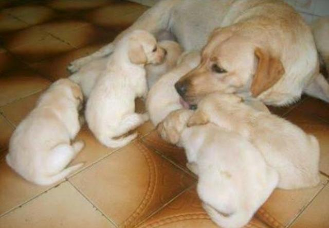 Filhotes de labrador em até 12x