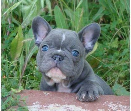 Bulldog francês Blue pied exóticos a pronta entrega