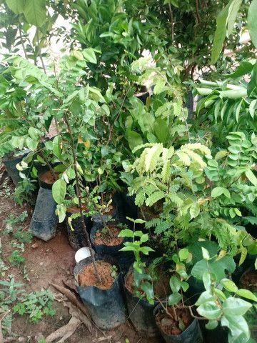 Mudas de Plantas frutiveras - Foto 4
