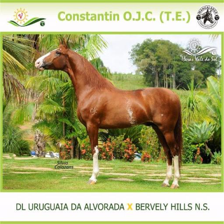 Cavalo Mangalarga - Constantin O.J.C. (T.E)