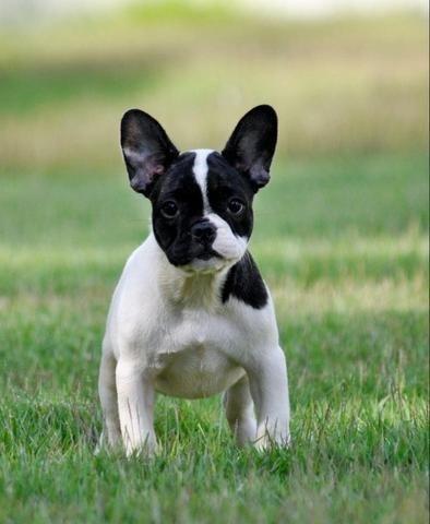 Bulldog francês belíssimos a pronta entrega chama no Whats