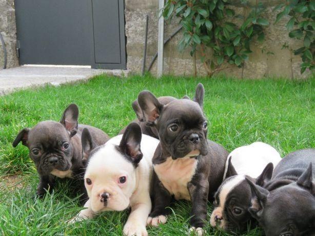 Bulldog Francês lindos filhotes na loja