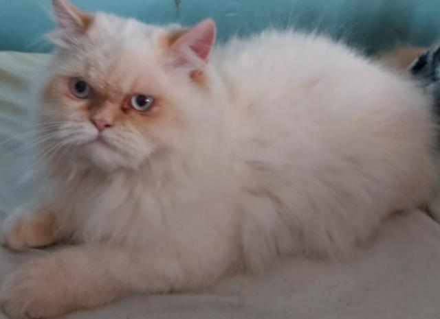 Filhote de gato persa de olho azul macho puro.Entrego em Curitiba e região metropolitana