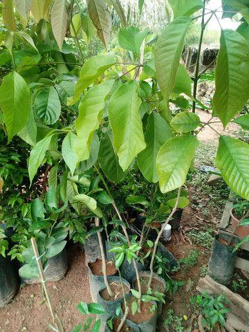 Mudas de Plantas frutiveras
