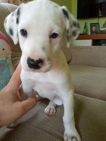 Labrador Beagle Dálmata Filhotes - Foto 4