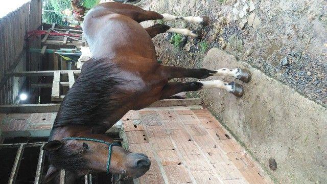 Cavalo andador - Foto 4