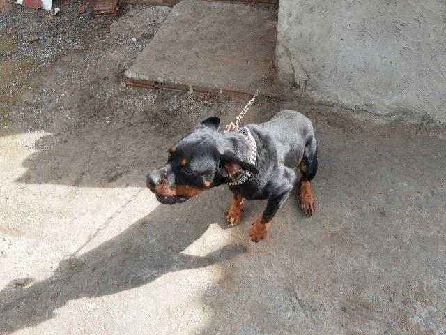 Rottweiler 1 ano puro , cabeça de touro (87)9814579meiaoito - Foto 2