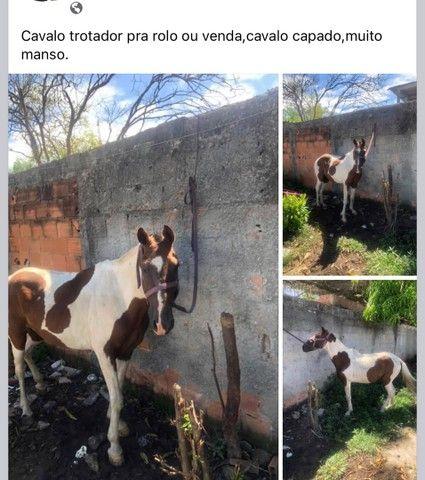 Cavalo manso - Foto 3