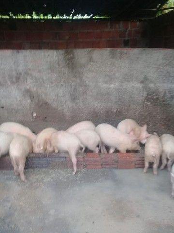 Criação (porcos) - Foto 2