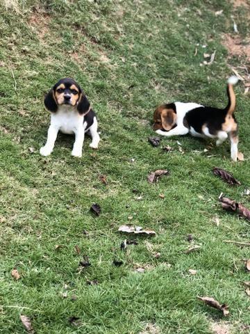 Beagle 13 polegada - Foto 2
