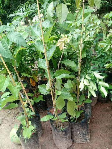 Mudas de Plantas frutiveras - Foto 2
