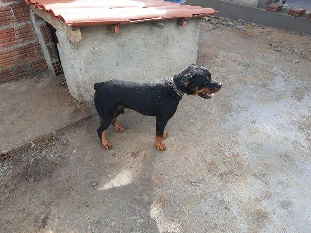 Rottweiler 1 ano puro , cabeça de touro (87)9814579meiaoito
