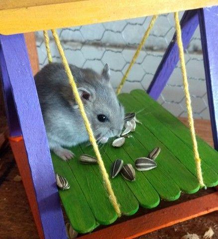 Hamster Anão Russo - Foto 3