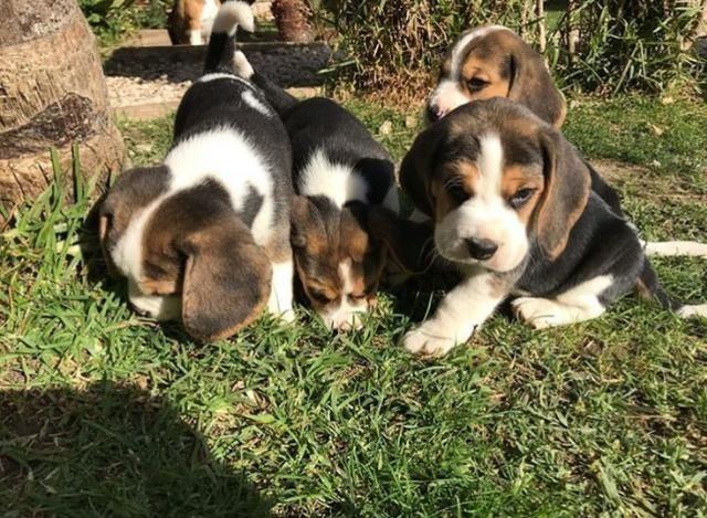 Beagle top pedigre aceito cartao - Foto 4