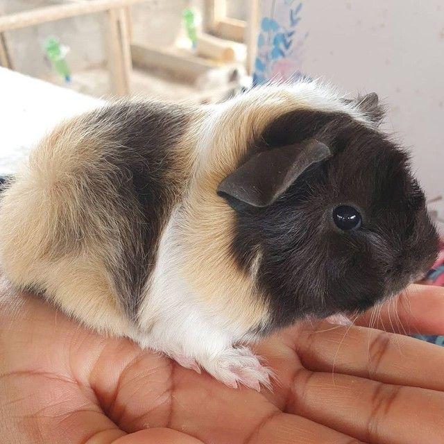 Porquinho da india peruano  - Foto 3