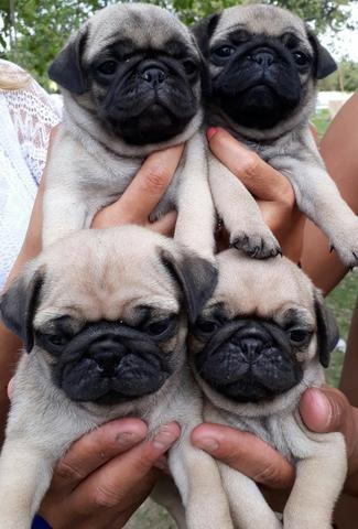 Pug femeas pedigree recibo garantia de saude - Foto 2