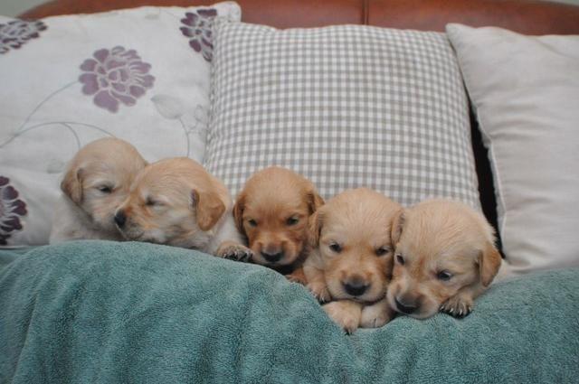 Cachorro Golden Retrieve-Lindos Filhotes Macho/Fêmea,Todas as Cores!Pronta Entrega