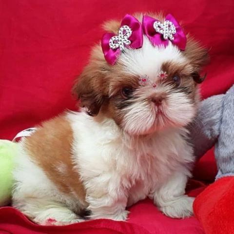 Shih tzu mine pedigree lindos