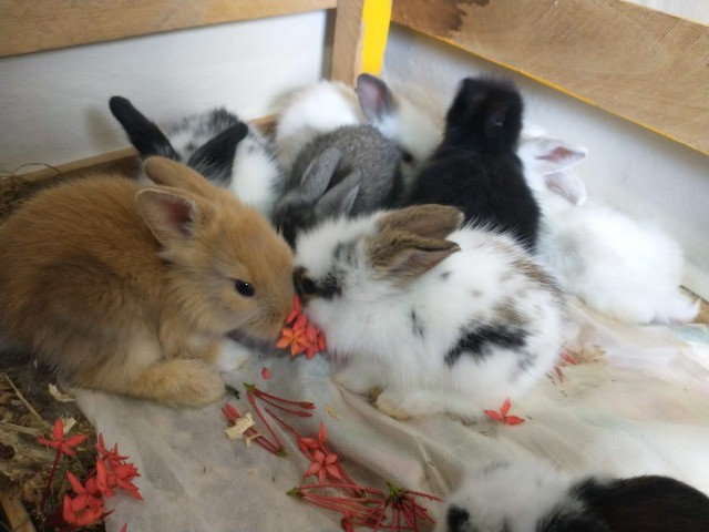 filhotes de mini coelho MiniLion