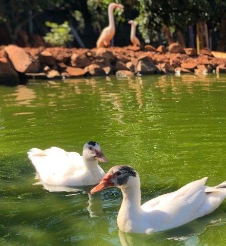 Patos vivos - Foto 4