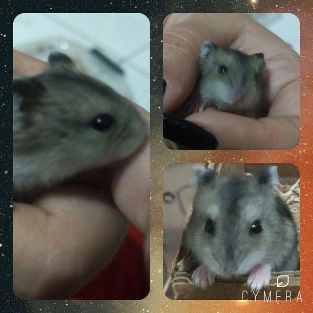 Hamster Anão Russo - Foto 2