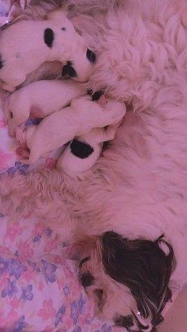Filhotes LHASA APSO C/pedigree - Foto 4