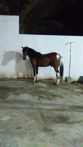 Cavalo andador - Foto 5