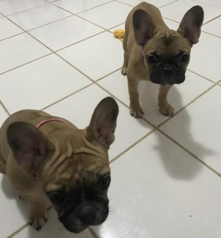 2 Bulldogs francês fêmeas