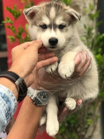 Husky Siberiano adquira o seu - (11)2638-6900 ou whats * Ramon