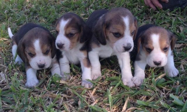 Beagle top pedigre aceito cartao - Foto 3