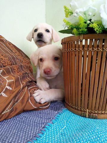 Labrador Beagle Dálmata Filhotes
