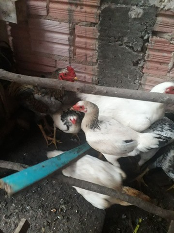 Vendo galinha caipira   - Foto 2