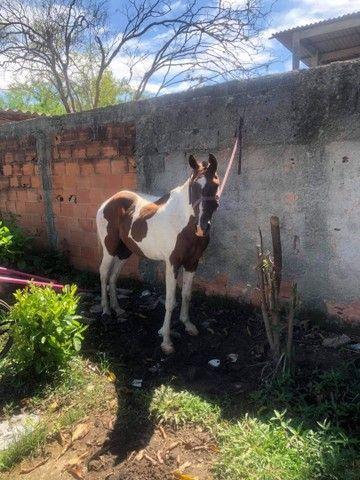 Cavalo manso - Foto 2