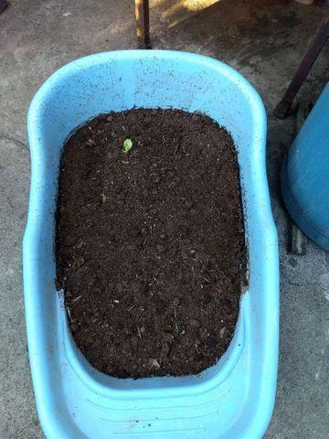 Terra adubada com adubo orgânico e esterco bovino $1,00 o kilo  zap * - Foto 3