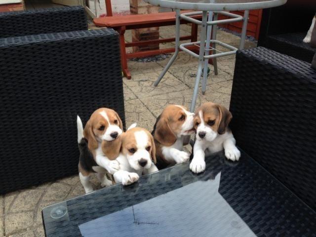Beagle top pedigre aceito cartao - Foto 2