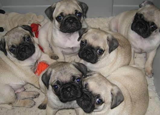 Pug femeas pedigree entregamos