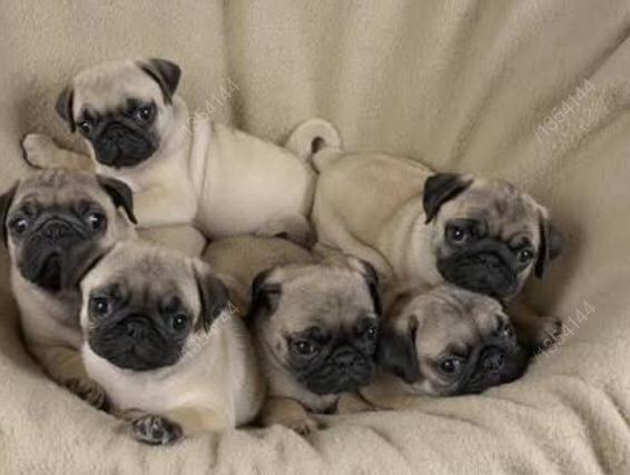 Pug femeas pedigree recibo garantia de saude - Foto 3