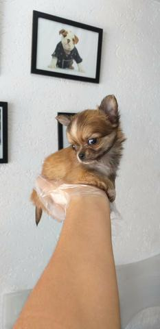 Chihuahua Lindos filhotes, á pronta entrega, garantia total de saúde em contrato