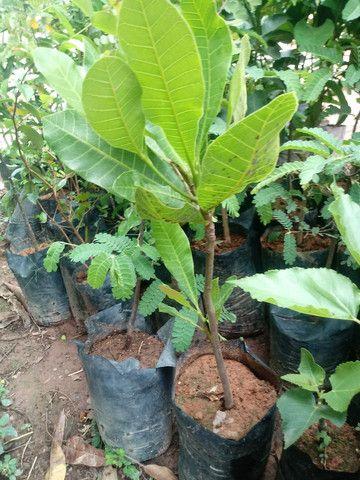Mudas de Plantas frutiveras - Foto 3