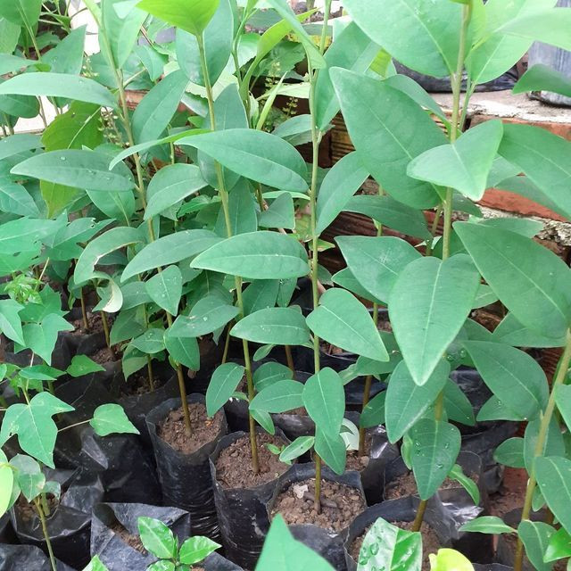 Plantas frutíferas  - Foto 3