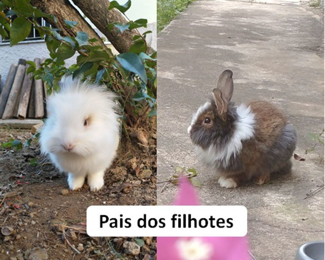 filhotes de mini coelho MiniLion - Foto 2