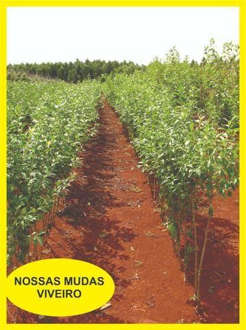 03 Mudas De Ameixas - Enxertadas - Super Promoção - Foto 5